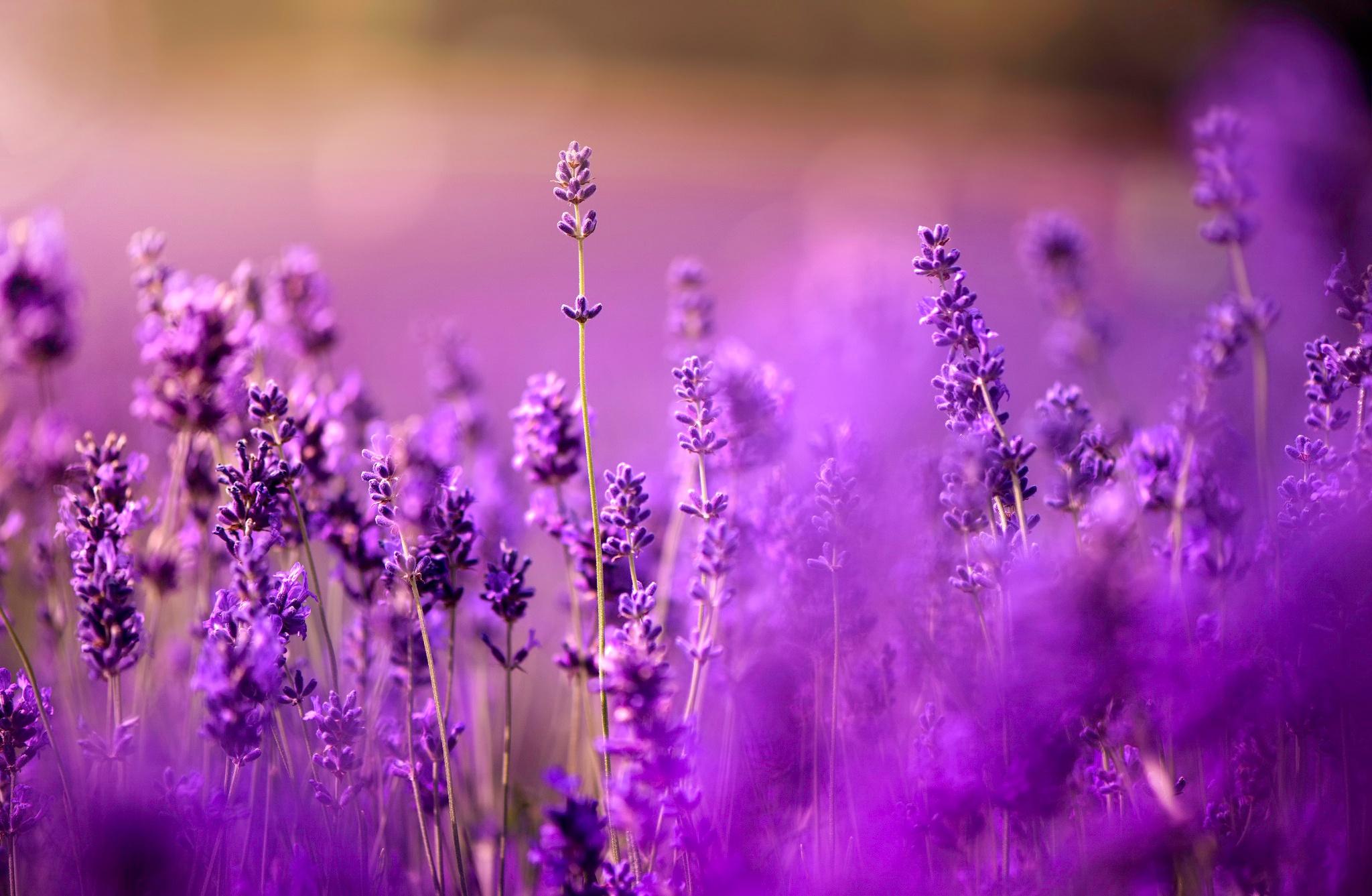 lavender background color - HD1920×1200