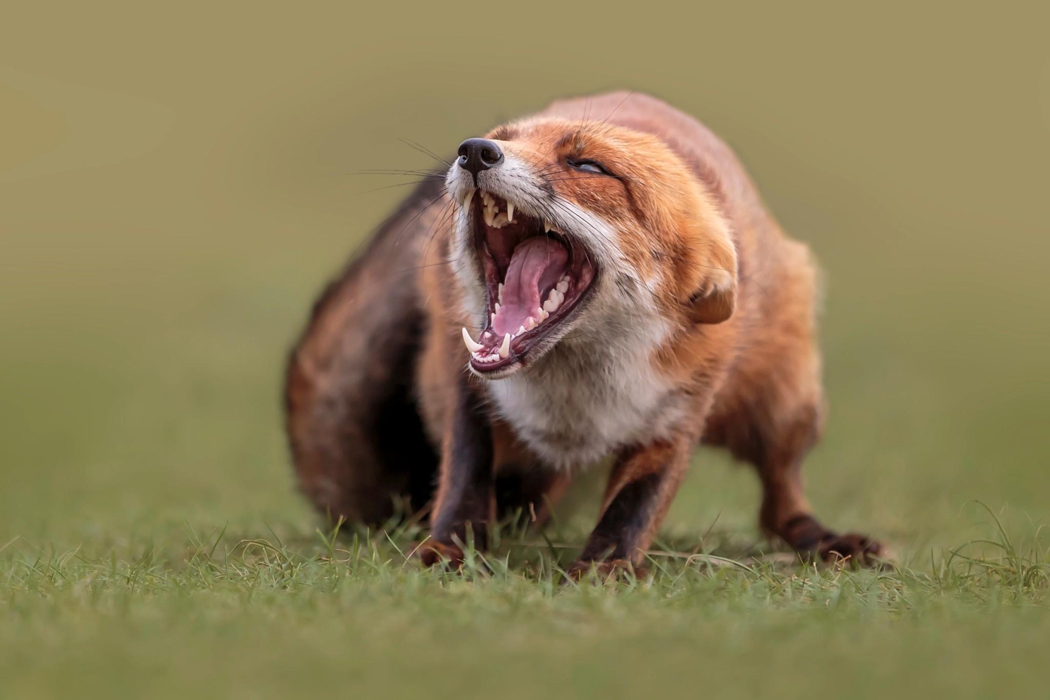 Foto Füchse Eckzahn unscharfer Hintergrund Zunge Grinsen ein Tier Bokeh Tiere