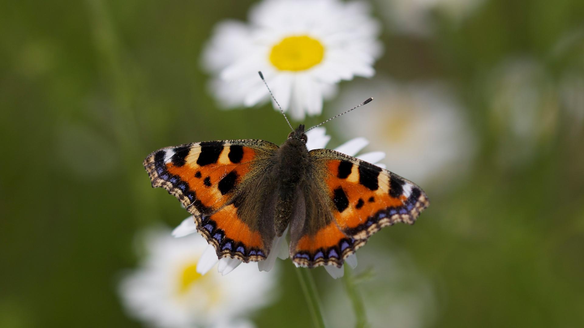 Desktop Hintergrundbilder Schmetterlinge Small tortoiseshell ein Tier Nahaufnahme 1920x1080 Schmetterling Tiere hautnah Großansicht