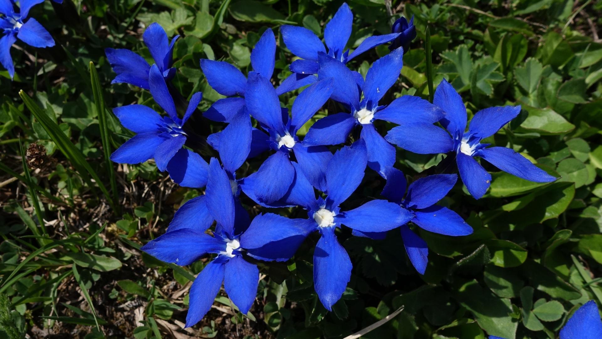Foto Gentiana Blau Blumen hautnah 1920x1080 Blüte Nahaufnahme Großansicht
