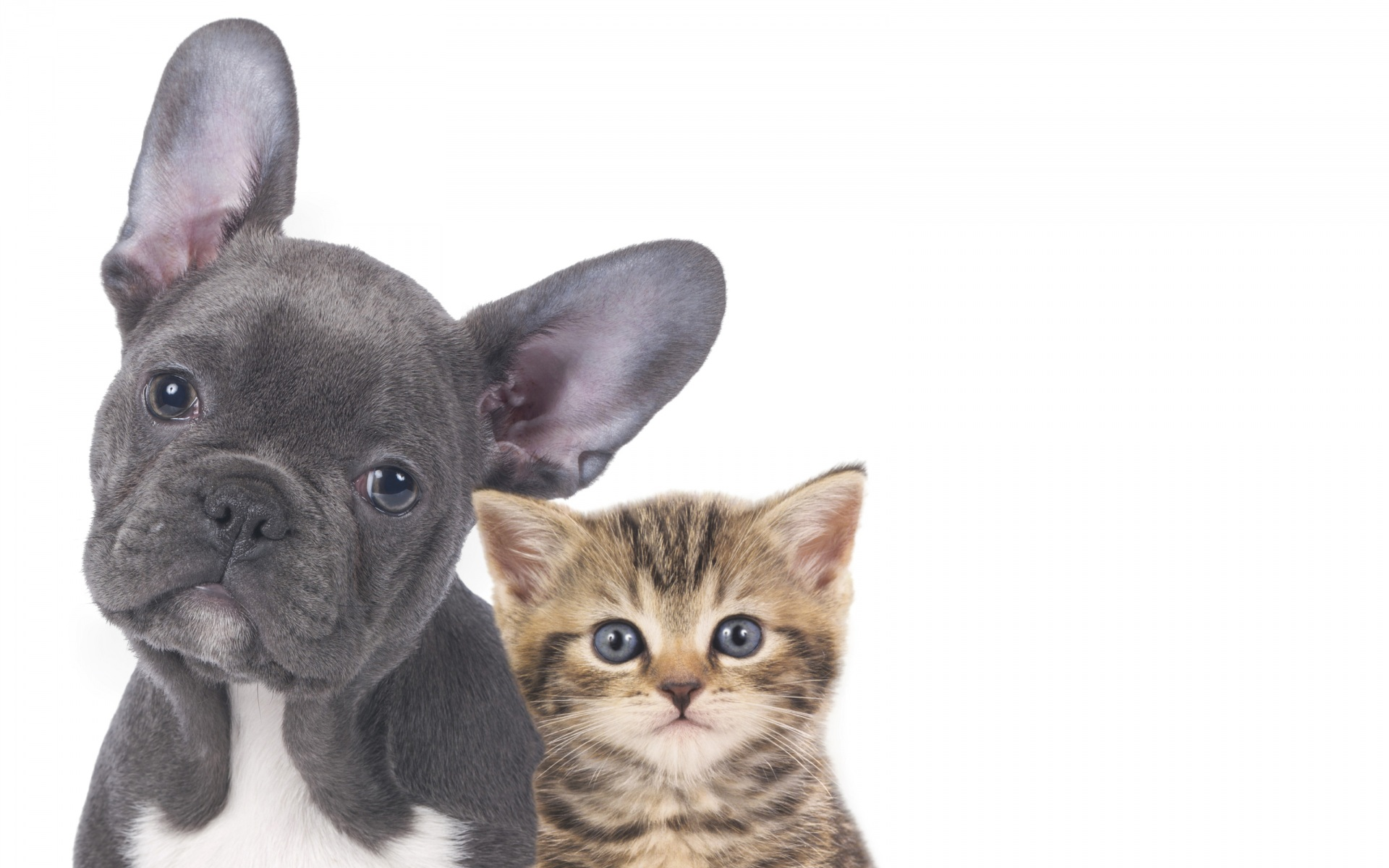 Picture Bulldog Kittens Dogs Cats Two Snout Animals White background 1920x1200