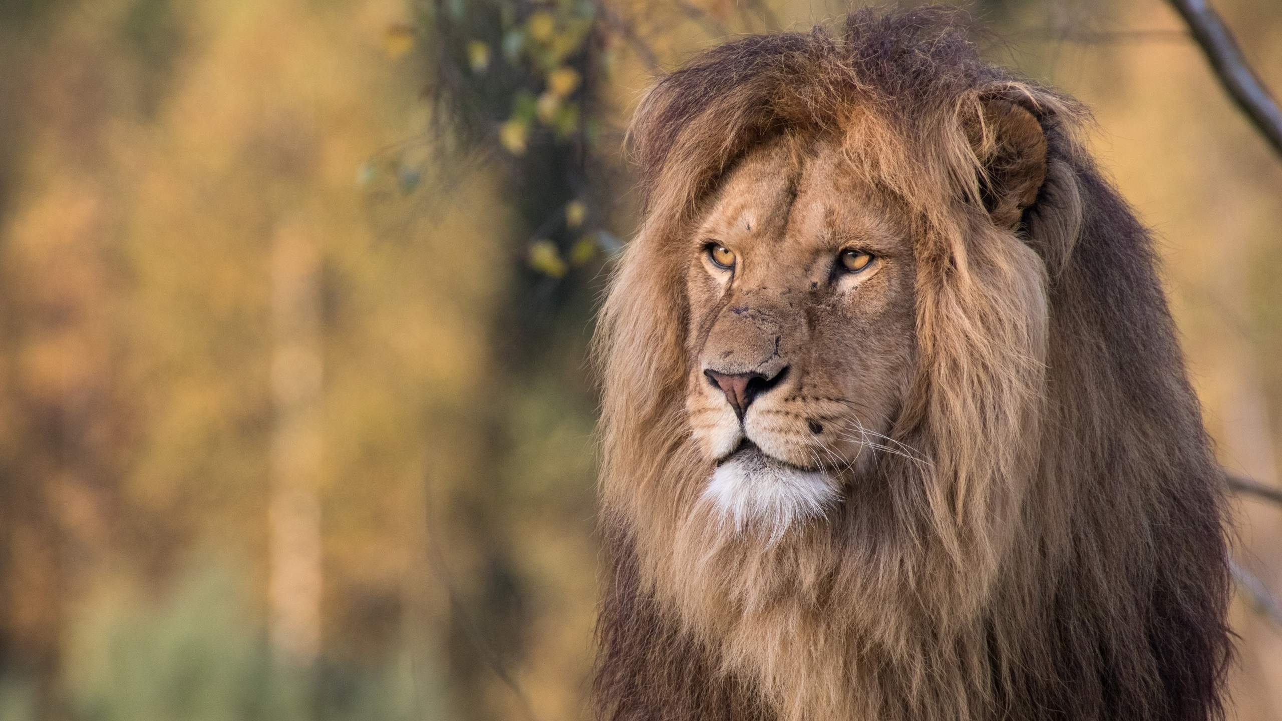 Fonds Decran 2560x1440 Lions Voir Animaux Télécharger Photo