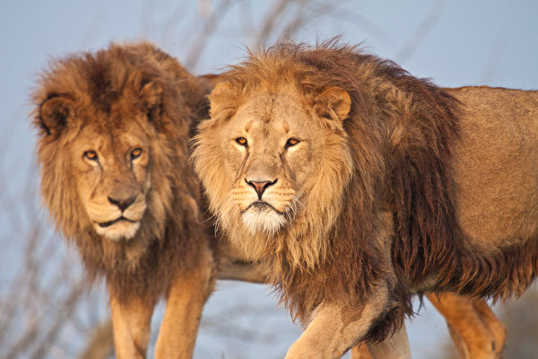 Desktop Wallpapers Lions Big cats 2 animal 600x400 lion Two Animals
