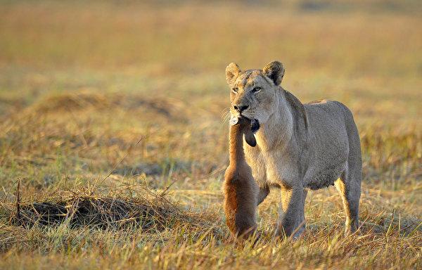 Photo Lions Grass animal 600x384 lion Animals