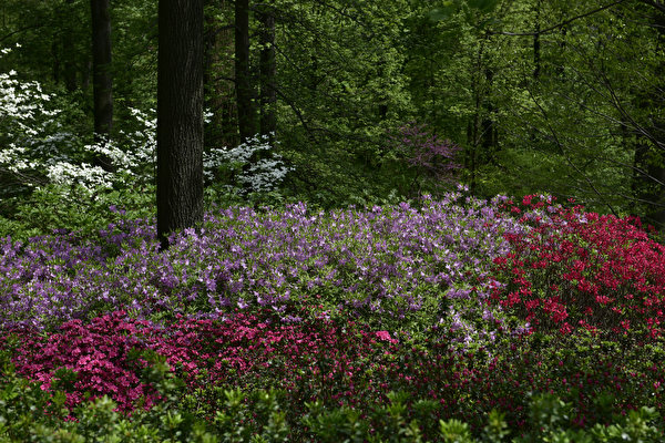 Papel de Parede Desktop EUA Parques Alstroemeria Nova Iorque Arbusto Botanical Garden Naturaleza