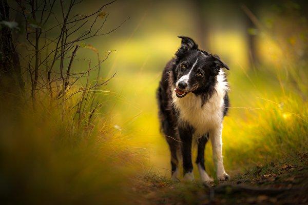 zdjęcia Border collie pies domowy Spojrzenie Zwierzęta 600x400 Psy domowe wzrok zwierzę