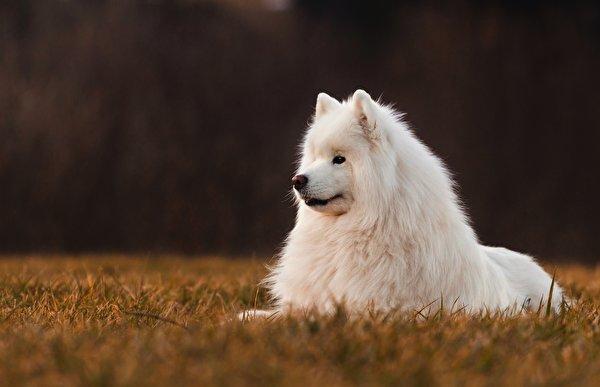 Фото Самоедская собака Собаки белых Животные 600x387 собака белая белые Белый животное