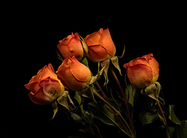 600x444 Rosas Fundo preto Laranja flor, rosa Flores