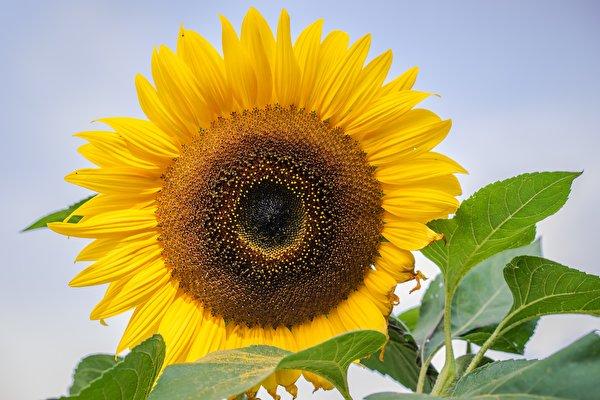 Photo Yellow Flowers Helianthus Closeup 600x400 flower Sunflowers