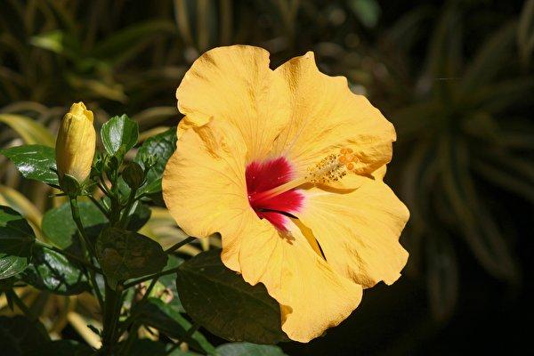 600x400,木槿,特寫,黄色,花卉,