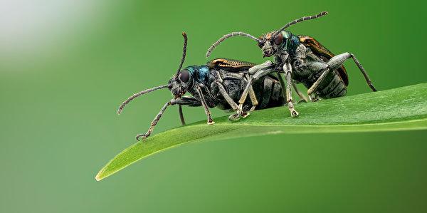 600x299 Coléoptères Insectes chrysomelid Deux un animal, 2 Animaux