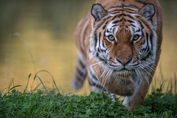 Wallpaper Tigers Snout Glance animal 600x400 tiger Staring Animals
