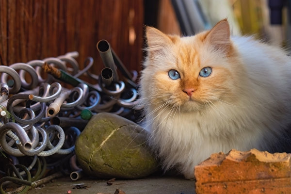 Fotos von Katzen Blick Tiere 600x400 Katze Hauskatze Starren ein Tier