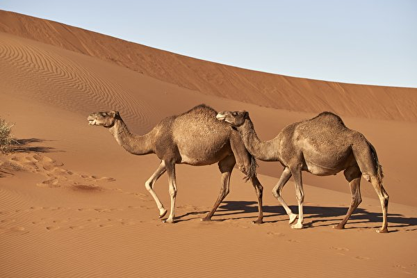 600x400 Desierto Camellos Arena Dos Lateralmente animales, un animal, Camelus, 2 Animalia