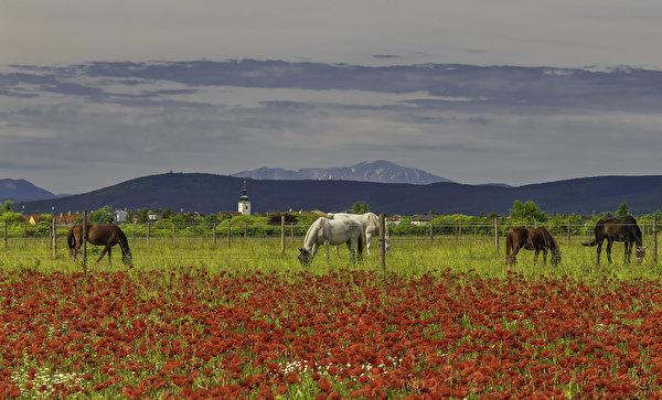 600x363,田地,罌粟,馬匹,圍欄,動物,