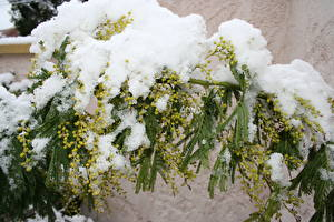 Bilder Mimosen Ast Schnee Blumen