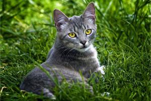 Bilder Katze Blick Gras Grau Tiere