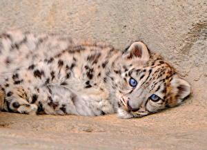 Hintergrundbilder Große Katze Irbis Jungtiere Blick Tiere