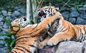 Bilder Große Katze Tiger Schlägerei Pfote Schlag Tiere
