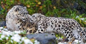Bilder Große Katze Schneeleopard Jungtiere Tiere