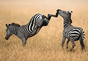 Bilder Zebra Gras Schlägerei Schlag Tiere