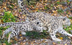 Bilder Große Katze Irbis Jungtiere Sprung Tiere