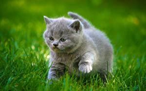 Fotos Katze Graues Kätzchen Flaumig Dick Gras Tiere