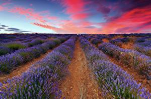 Bilder Acker Lavendel Himmel Horizont Blumen Natur