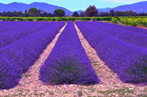 Hintergrundbilder Lavendel Acker Blau Blüte