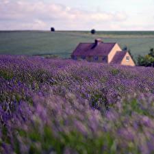 Bilder Lavendel Gebäude Acker England Natur