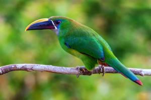 Fotos Vögel Tukane Ast Schnabel Emerald Toucanet Tiere
