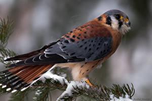 Fotos Vögel Federn Falken ein Tier