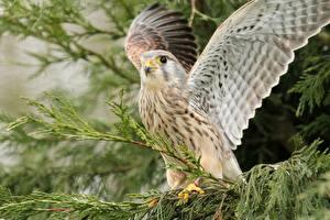 Bilder Vögel Falken Flügel Ast Falco tinnunculus