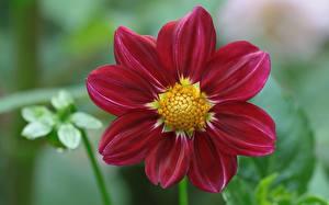 Bilder Georginen Großansicht Rot Blüte