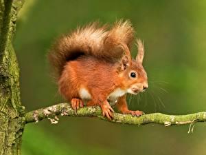Bilder Nagetiere Eichhörnchen Ast Tiere