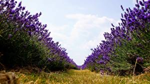 Fotos Lavendel Felder Gras