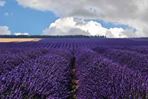 Bilder Lavendel Felder Wolke Blumen