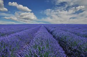 Hintergrundbilder Lavendel Acker Himmel Wolke Blüte
