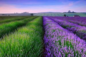 Bilder Lavendel Felder Blüte