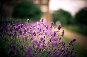 Bilder Lavendel Nahaufnahme