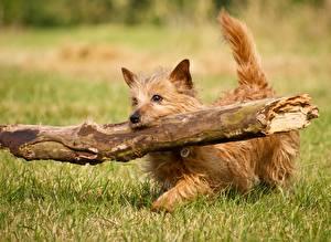 Fotos Hunde Gras Ast Lauf Norwich Terrier Tiere