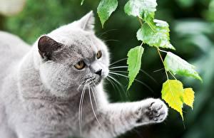 Bilder Katzen Graues Schnurrhaare Vibrisse Tiere