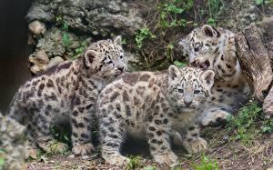 Hintergrundbilder Große Katze Jungtiere Schneeleopard Tiere