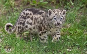Fotos Große Katze Jungtiere Irbis Gras Tiere