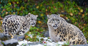 Wallpapers Big cats Snow leopards 2 Animals
