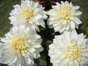 Hintergrundbilder Georginen Nahaufnahme Weiß Blüte