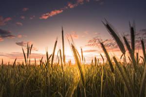 Bilder Acker Sonnenaufgänge und Sonnenuntergänge Großansicht Himmel Ähre Natur
