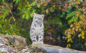 Fotos Große Katze Schneeleopard Jungtiere Tiere