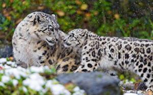 Bilder Große Katze Schneeleopard Jungtiere Zwei Tiere