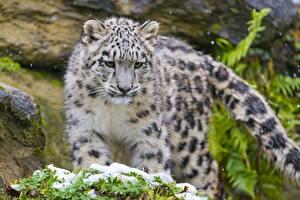 Hintergrundbilder Große Katze Schneeleopard Jungtiere Tiere